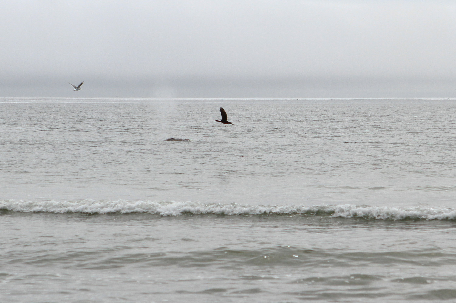 Grey whale shows its back from the water. Photo by Maria Bondar
